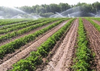 Irrigating the strawberries.